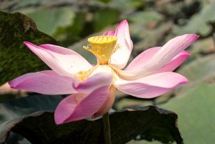 Lotus Flower SaDec